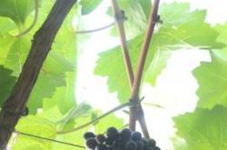 永乐葡萄产业成为当地一张响当当的地域名片